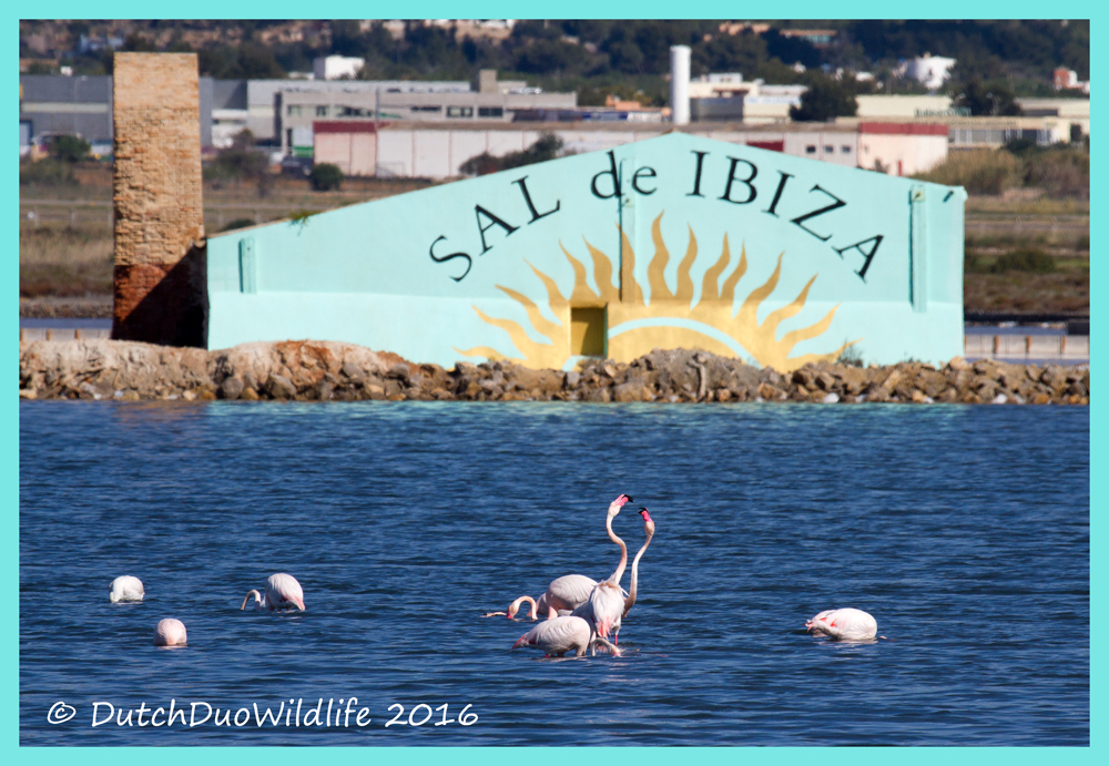 #dutch #duo #wildlife our big move to Ibiza Spain culture folklore dance dancing clubbing party fiesta festivities #ibiza2016 #agenda #party #calendar #ourbigmove